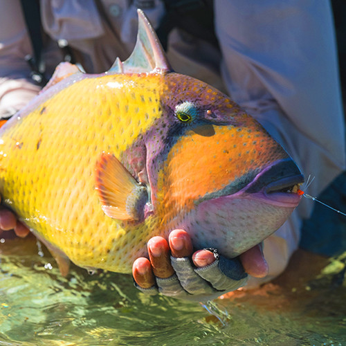 Moustache Triggerfish 4