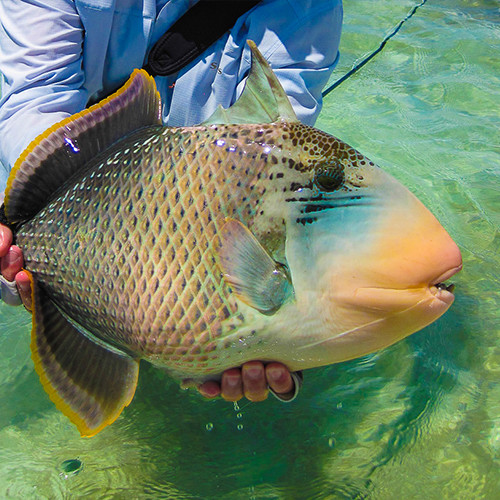 Yellowmargin Triggerfish 1