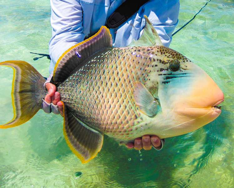 alphonse-experience-fly-fishing-species-yellowmargin-triggerfish-01
