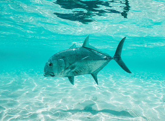 Giant trevally swimming under turquoise blue water at Alphonse Island - shot by Alphonse Fishing Co™